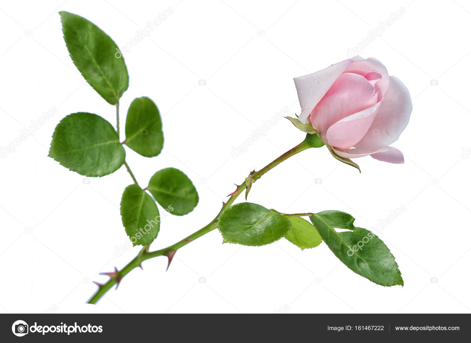 Gently Pink Rose Flower With Long Stem And Leaves Isolated On White