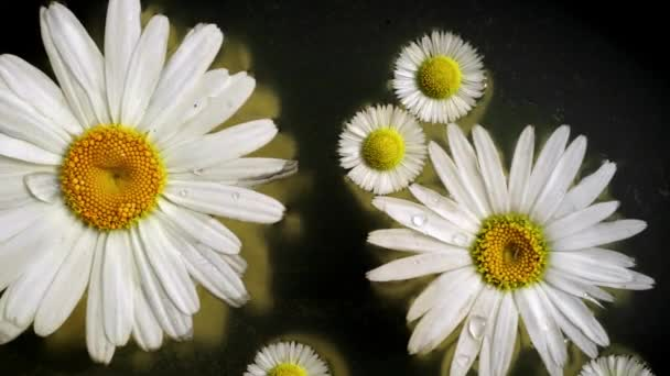 Chamomile flowers float at the water surface, close up top view