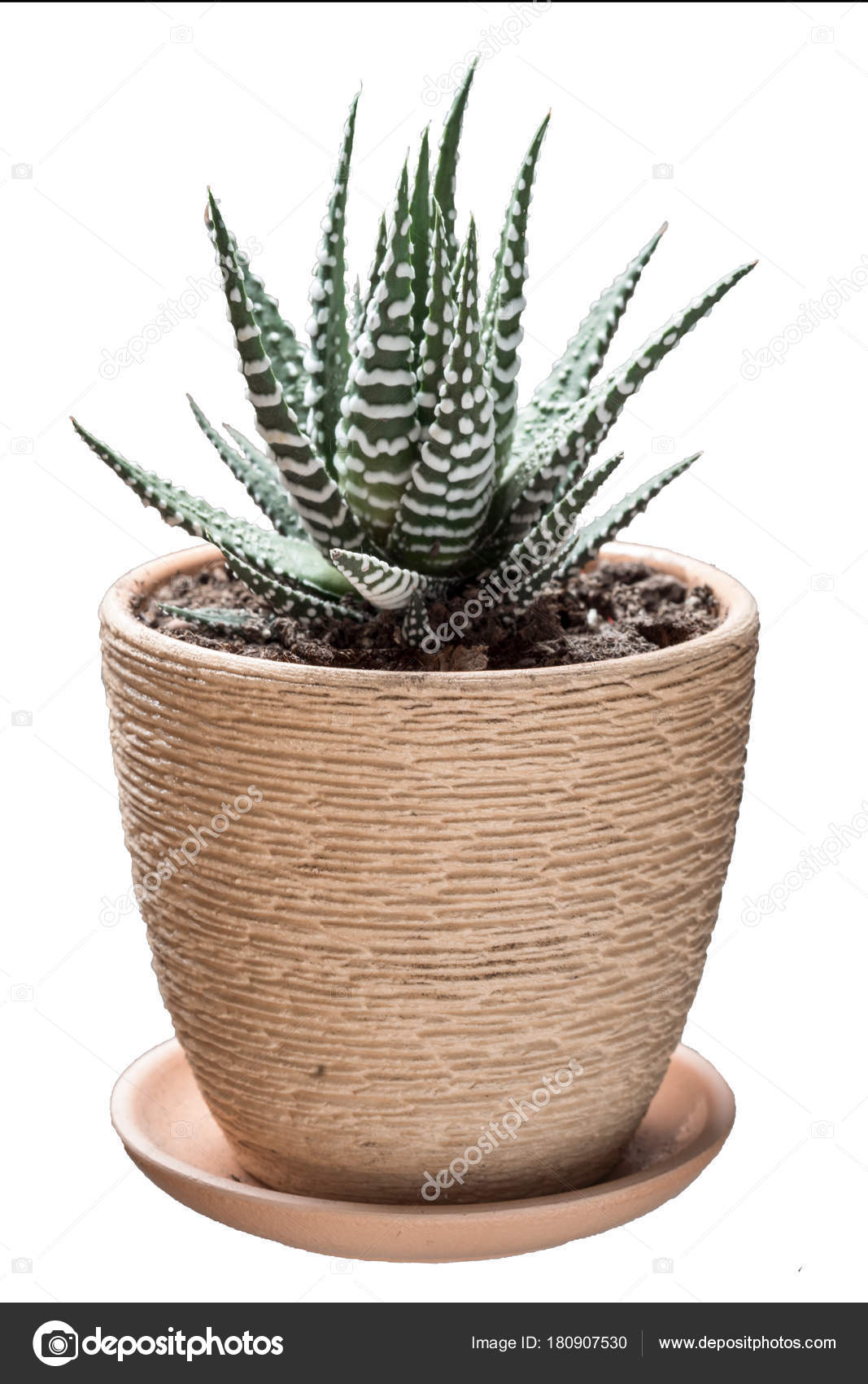 Succulent Plant White Spots Leaves Flower Pot Side View Isolated