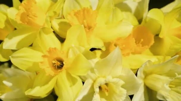 Közelről forgatás csomó sárga nárcisz