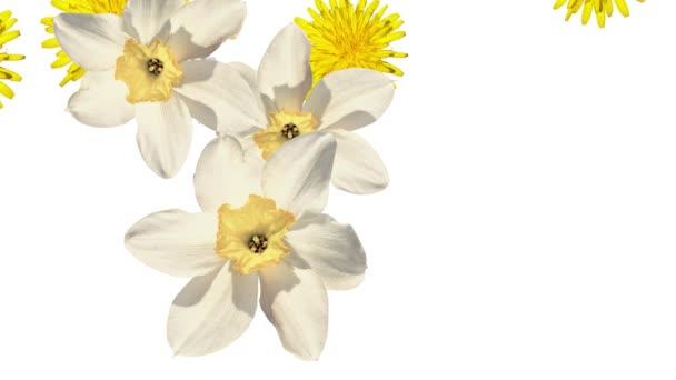 Smíšené květy padají na bílém pozadí. Prázdné bílé na začátku a na konci. Narcis, pampelišek, petrklíč a daisy. Bílé a žluté květy