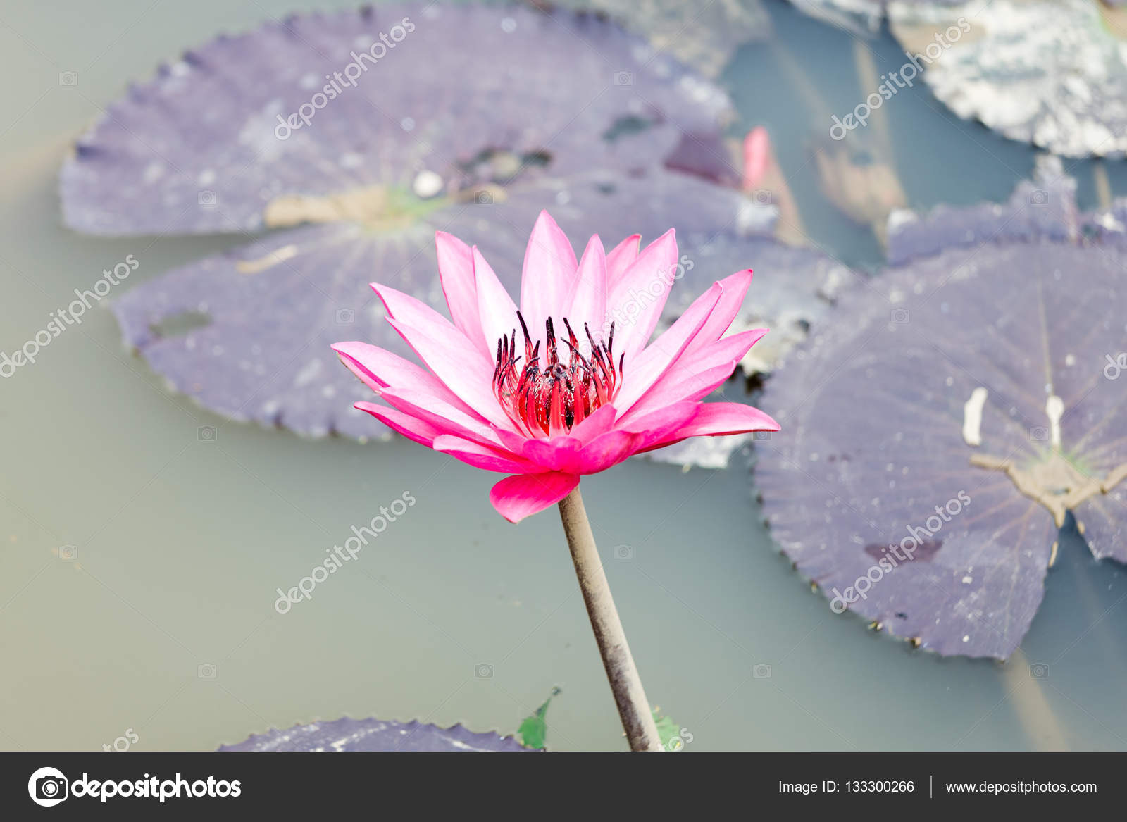 Lotus Blossom Flower Stock Photo Aoshivn 133300266