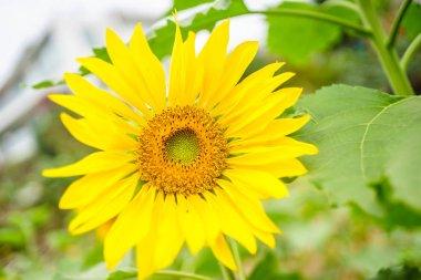 Sunflowers at Hanoi