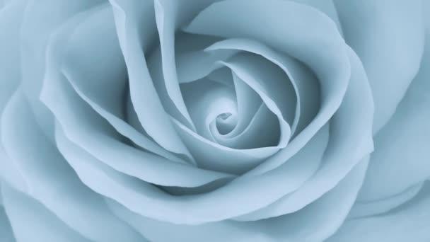 Růžová romantická růže zblízka