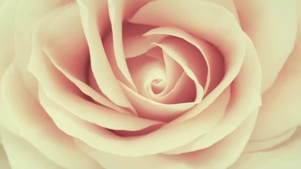 rosa romantische Rose aus nächster Nähe