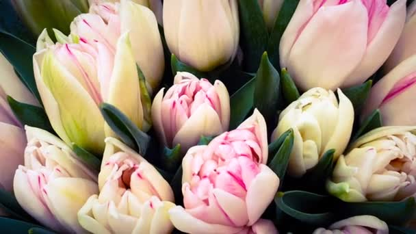 Tulips floral colors flower bunch