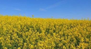 """Картина, постер, плакат, фотообои """"желтые цветы рапс семена весной """", артикул 365241732"""
