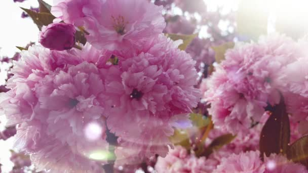 Krásné květiny růžové květy bokeh světla