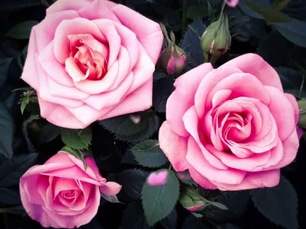 Růže květiny krásná růže hlavu