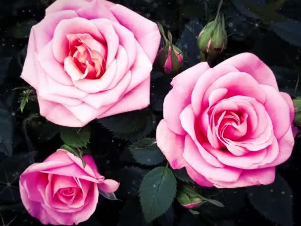 Růžové třpytky růží krásné květiny
