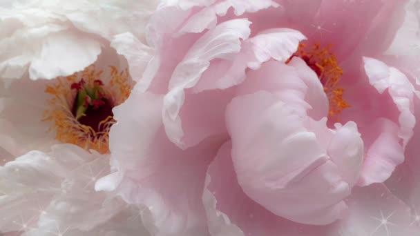 Rózsaszín rózsa rózsa rózsa virágok