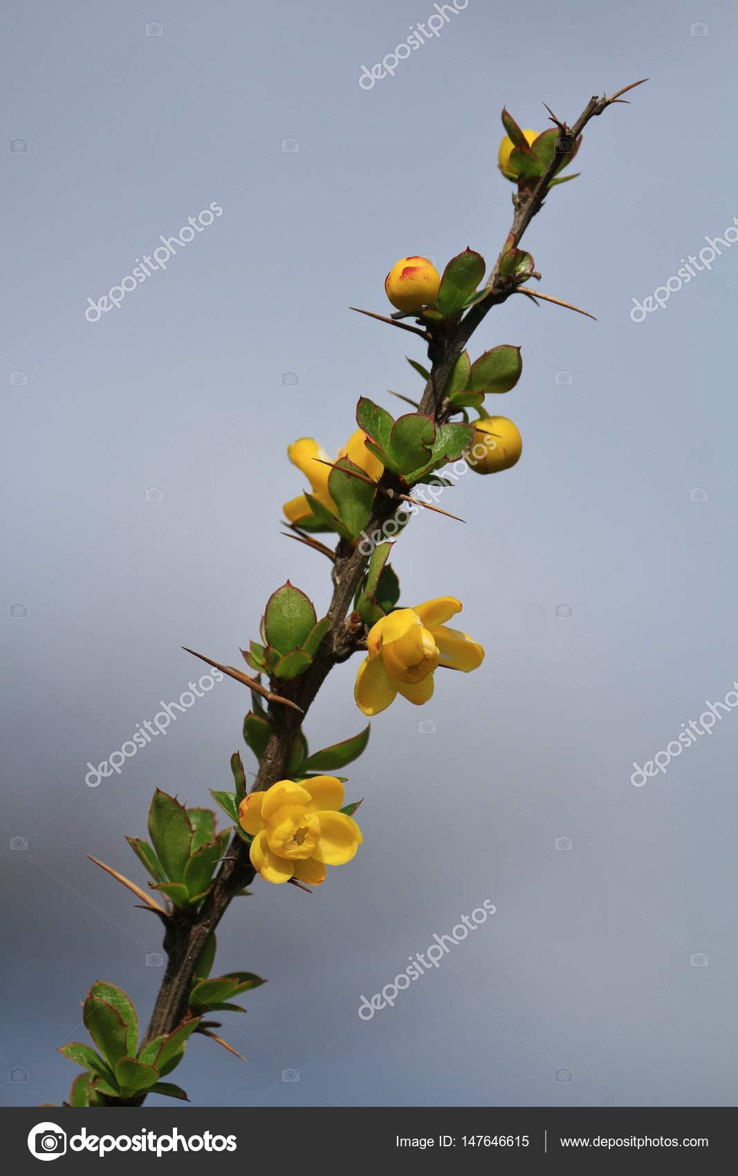 Thorny bush with little yellow flowers stock photo perreten thorny bush with little yellow flowers stock photo mightylinksfo