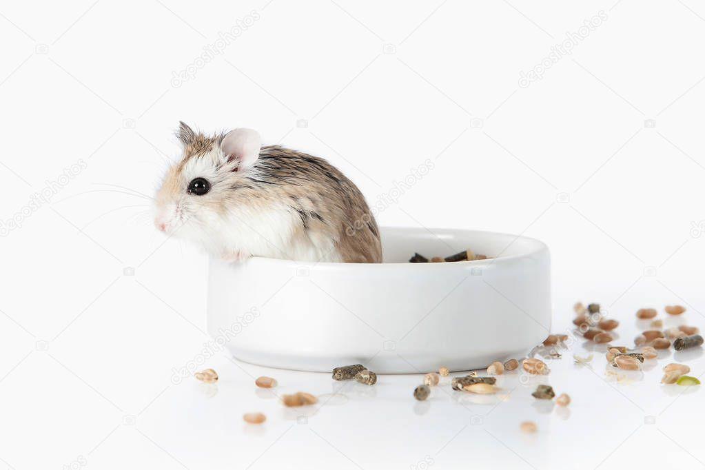 Pet  Roborovski hamster isolated on white background — Stock