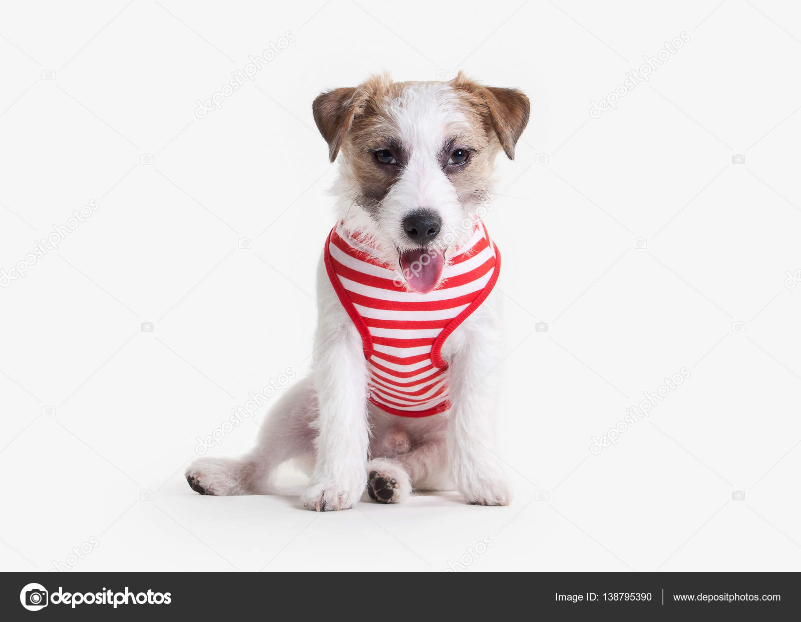 Cane Cucciolo Di Jack Russell Terrier Su Priorità Bassa Bianca