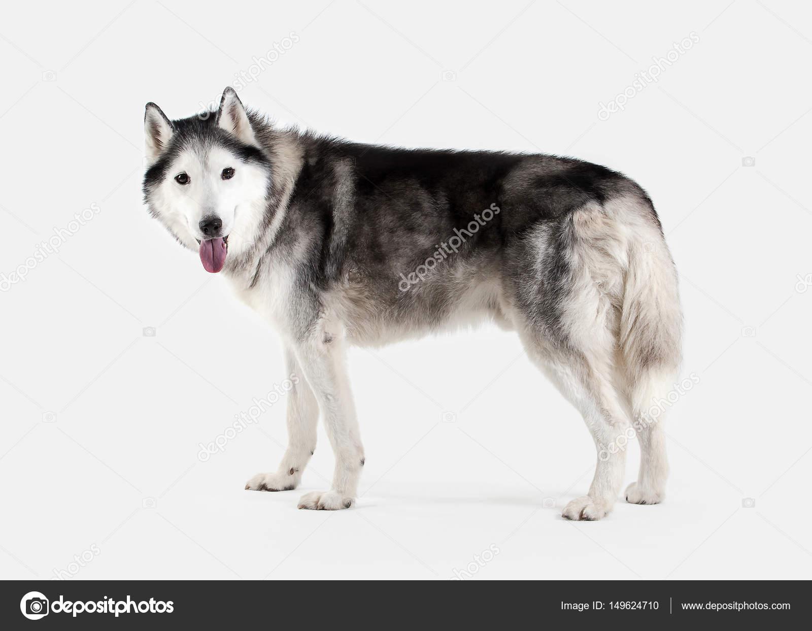 Собака. Сибирский Хаски на белом фоне — Стоковое фото ... Милый Щенок Хаски