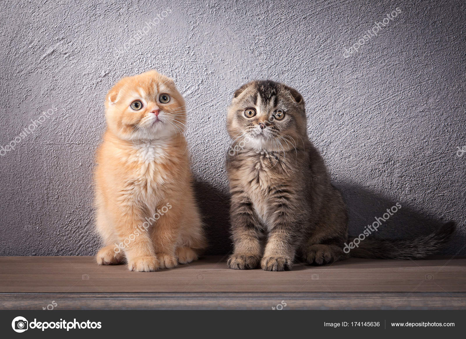 Cat Several Scottish Fold Kittens On Wooden Table And Textured Stock Photo C Dionoanomalia 174145636