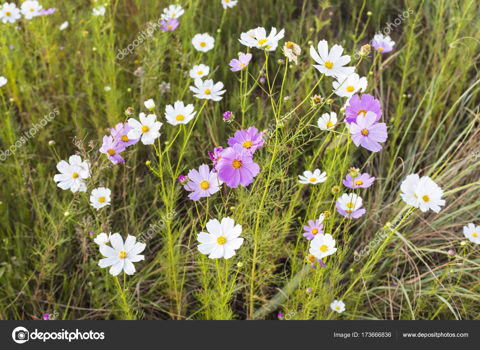 Pink and white cosmos flowers stock photo hannesthirion 173666836 pink and white cosmos flowers stock photo mightylinksfo