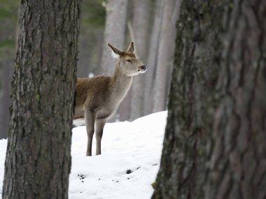Red deer, Cervus elaphus, single female in snow,  Scotland, March 2020