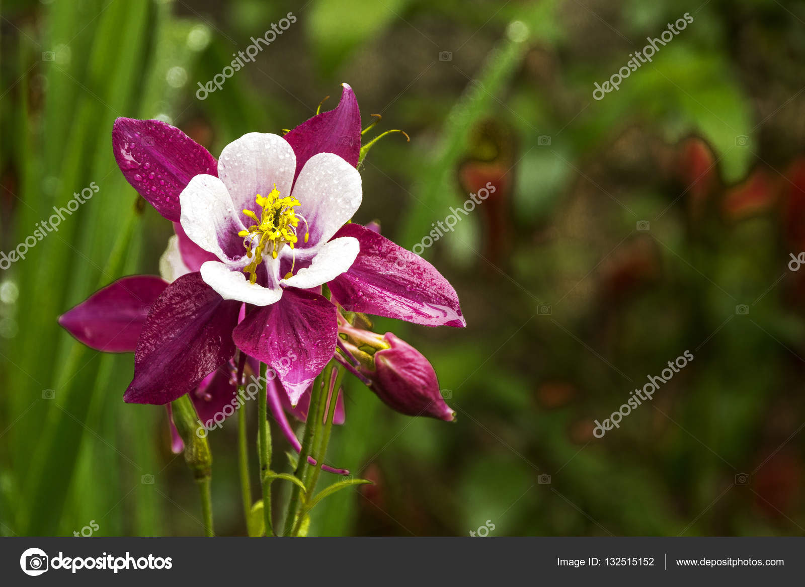 Colorful white purple and yellow aquilegia columbine flower stock colorful white purple and yellow aquilegia columbine flower stock photo izmirmasajfo