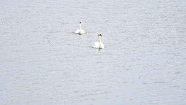 Swan plavat na hladké hladiny s odlesky slunce a jiskří
