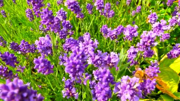 Květy levandule. Levandulová pole na pozadí v rozostřený. Lavandula květiny kymácí ve větru na východ slunce