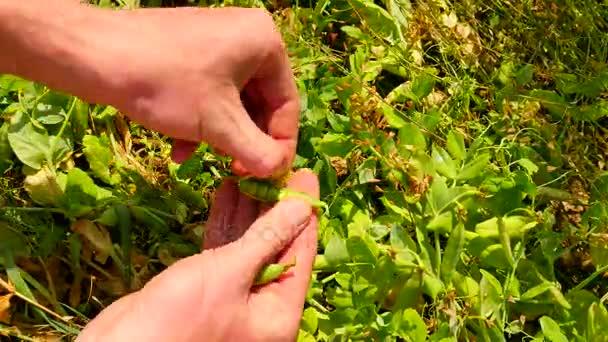 Ernten Sie grüne Erbsen. Mannhände sind Zuckererbsen, Eröffnung grüne Schoten, Qualitätskontrolle und die Reife der grünen Beeren ernten.