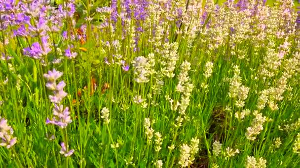 Pink purple lavender flowers. Lavender field in the background in soft focus. Lavandula flowers swaying in gentle wind.