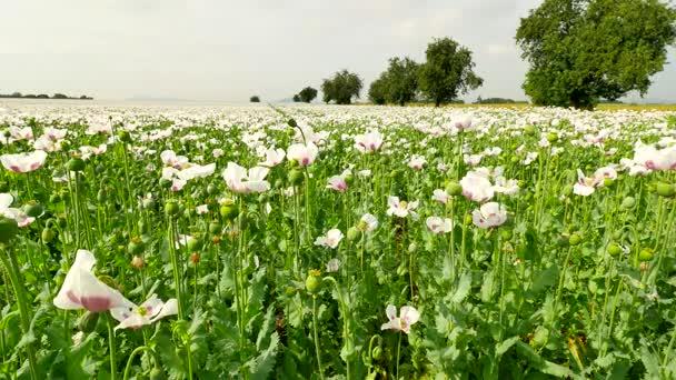 Letní zemědělské půdy. Pohled přes bílé makové pole. s některými bezvodý místech. Květ máku a zelené máku hlavy v jemný vítr, zelené rostliny a modrou oblohou v pozadí