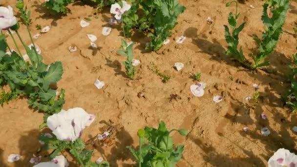 Chudé Sklizeň máku. Pohled přes bílé makové pole s některými bezvodý místech. Suchá hlína, krátké stonky, smrt rostliny. Květ máku a zelené máku hlavy v jemný vítr