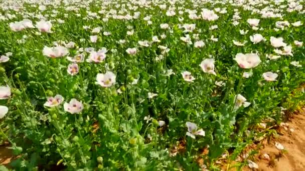 Problémy ekologie. Některé bezvodý místa a suché květy v poli během horkých letních. Pohled přes bílé makové pole. Květ máku a zelené máku hlavy v jemný vítr