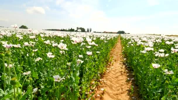 Pohled přes bílé makové pole s některými bezvodý místech. Květ máku a zelené máku hlavy v jemný vítr, zelené rostliny a modrou oblohou v pozadí