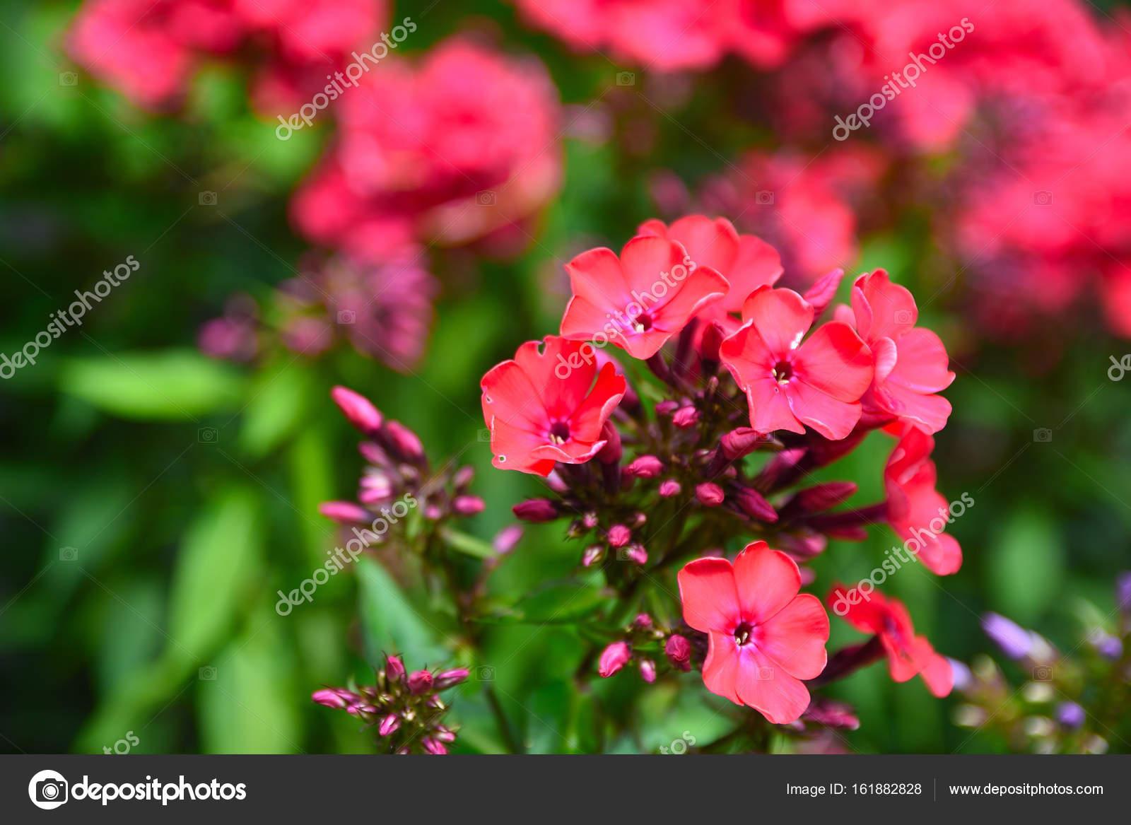 Bahçe Phlox çiçeği Içinde Köy Bahçe Köşesinde Kırmızı Pembe çiçek