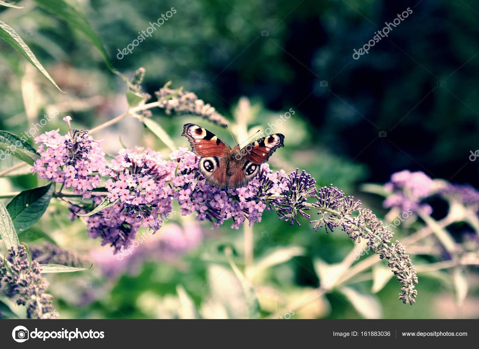 Farfalla del pavone nutrendosi di nettare fiore lilla - Immagini pavone a colori ...