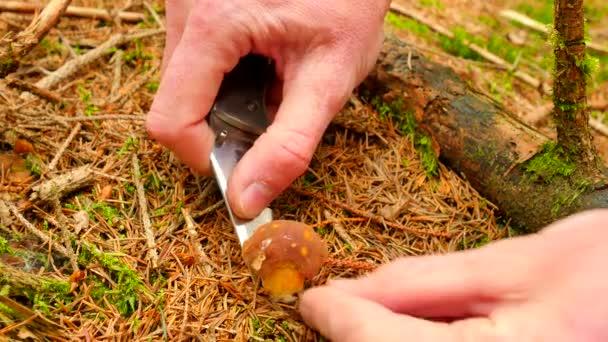 A gomba vadászat. Gomba vágott ki, késsel, mushroomer kezek vágott, tiszta, és vedd a kis barna Szarvassült vargánya. Vértes megtekintése.