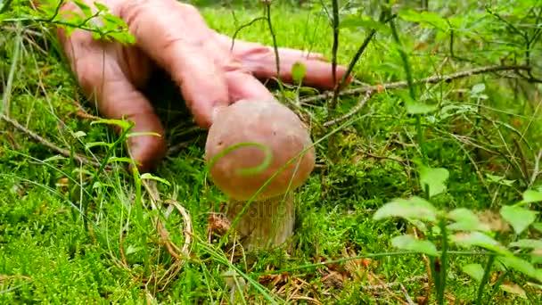 Szenvedélyes gyűjtő gomba. Kezét az erdei föld Fogazott kést vágott gombával. Kezét óvatosan vágott, tiszta és elvenni barna Szarvassült vargánya