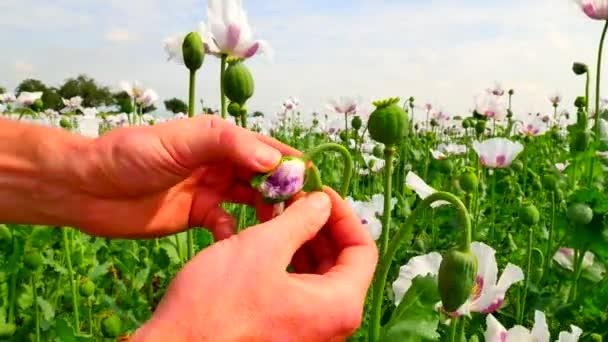 Férfi kézi megnyitása fehér mák bud nagy területen. Ellenőrizze a mák szirmok színe. Mező tele zöld éretlen Papaver somniferum. POV
