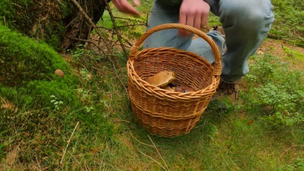 Muž hledání hub v lese na podzim. Muž v modrém jens a ošatkou projít do lesa a najít hnědé čepice hřib. Ruku uřízl houby kapesní nůž a pečlivě umístění do koše.