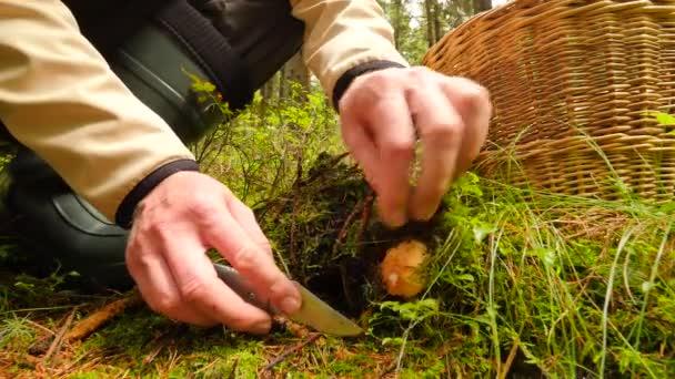Coup de main coupée de cèpes par couteau à lame en escalier, que les mains  mushroomer plaçant aux champignons dans panier en osier. La ... 2ca81e8e168