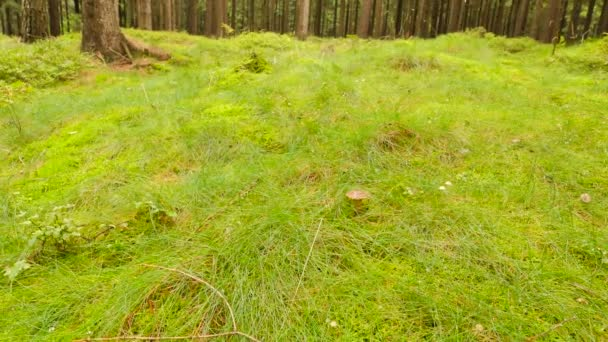 Sbíráme bílé houby v lese trávy, zavřete širokoúhlý objektiv. Rukou vyjmout a zvedl bílý hub v lese