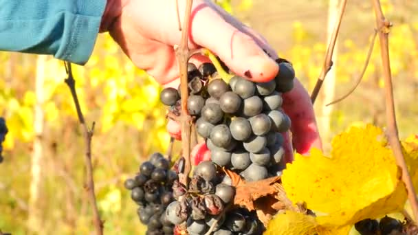 Farmer check quality of frozen grape vines in vineyard in autumn. The vine grapes in traditional vine yard before harvest, ripening on ice wine