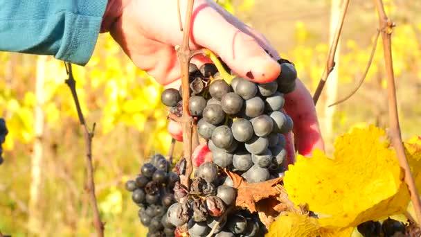 Farmář kontrola kvality zmrazených vinnou révou na vinici na podzim. Hrozny vinné révy v tradiční révové nádvoří před sklizní, zrání na ledové víno