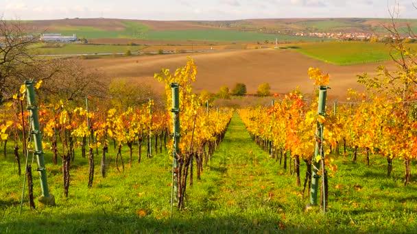 Žluté oranžové listy na hlav vinné révy v Vinarna. Na podzim začínají vineyar. Vítr odpoledne.