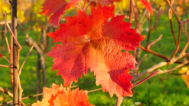 Yellow orange leaves on grapevine plants in vinery. Autumn begin  vineyar. Windy afternoon.