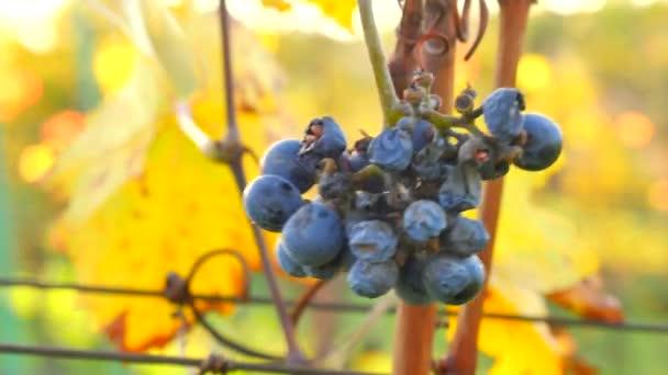 A fagyasztott szőlő a kertben őszi részletes nézetet. A szőlő a szüret őszi betakarítás, a Jégbor érés előtt