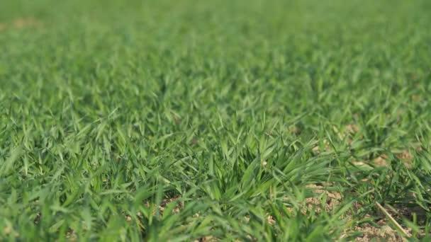 Zöld tavaszi mező fiatal búza. Zöld fű háttér.