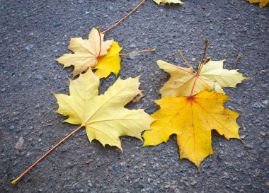 Yellow autumn maple leaves on the pavement