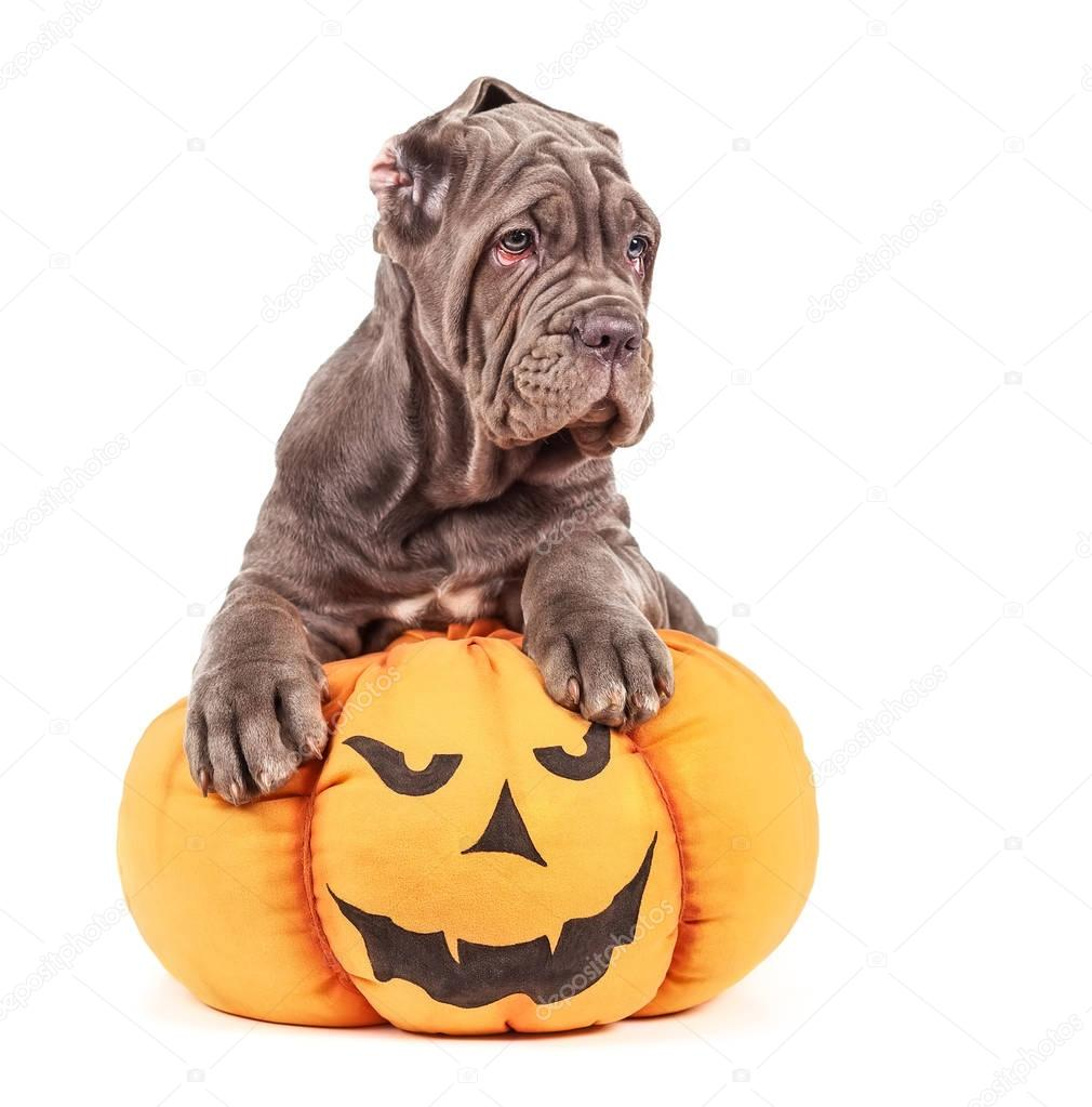 italian mastiff cane corso with toy pumpkin to halloween stock photo