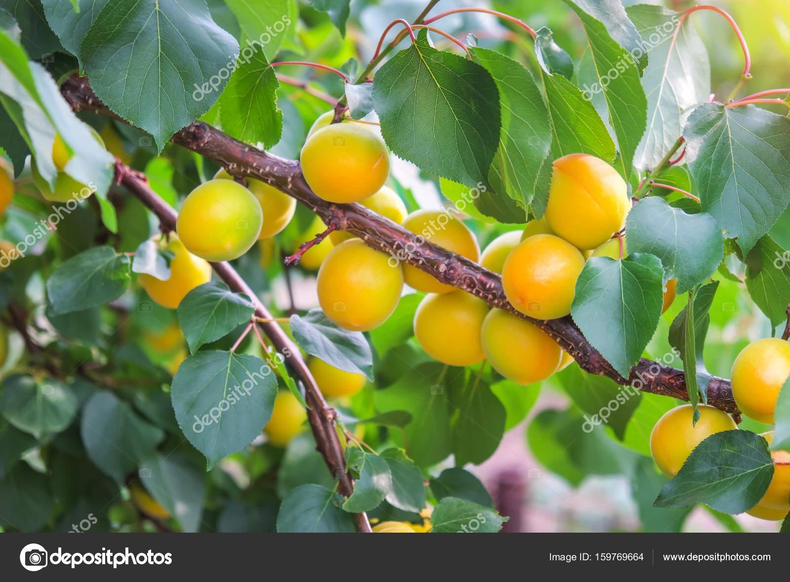 Aprikosenbaum Mit Früchten Zweige Und Blätter Reifen Aprikosen