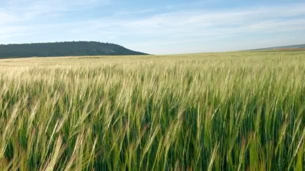 Zelené pole žito nebo pšenice. Detailní záběr na chléb kuří oka nebo zelená pšenice hlav. Krásná krajina