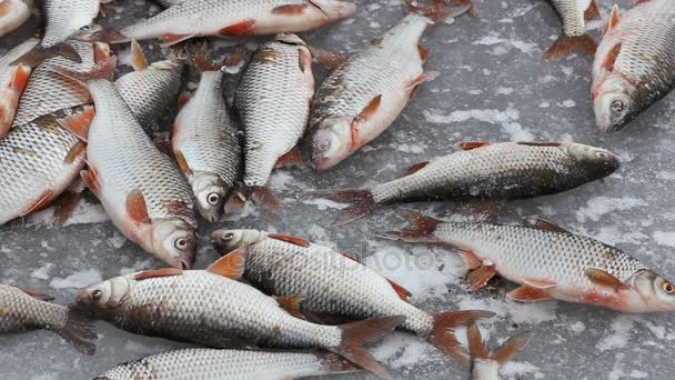 Winter fishing. The fish moves and freezes on cold ice. Fisherman catch. Fishermens caught a roach